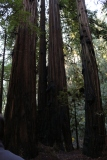 armstrong-redwood-grove-dec-2016-89